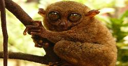 The Tarsier is the world's smallest monkey and may be found in Bohol