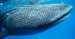 Oslob is fast becoming a tourism destination due to the whalesharks, locally known as Butanding.